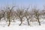 Kako zimi voćnjak zaštititi od glodara?