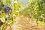 Isplata poticaja za nove zasade voća i vinove loze