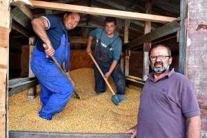Rekordni prinosi kukuruza kod Zdravka Ciganovića, više od 15 tona po hektaru