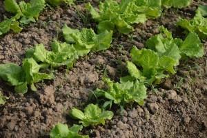 Mališani iz Beograda naučili da seju i sade salatu
