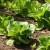 Zelena salata ima visoke zahtjeve za hranivima - prihranom osigurajte visok i kvalitetan prinos