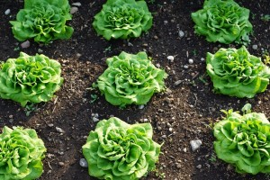 Simptomi i suzbijanje antraknoze zelene salate