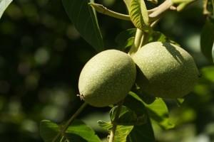 Zeleni orah i med - tradicionalni recept koji ublažava prehladu i čisti krv