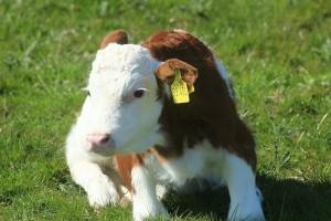 Ženska telad, osnova kontinuirane proizvodnje mlijeka