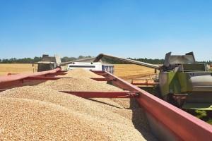 Pšenice i dvostruko više nego što je Hrvatskoj potrebno, nedostaje nam prerada