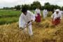 Neće rasti cijena pšenice?