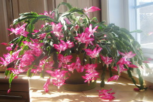 Mrak im je potreban za cvjetanje: Božićni kaktus i božićna zvijezda