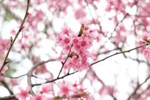 Zašto se stabla bora, bambusa i trešnje nazivaju prijateljima zime?