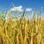 Pravilan odabir pokrovnog usjeva važan je za zaštitu tla