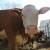 Apsurd: U BiH oko 20.000 junadi viška, a ove godine uvezeno 30.000 tona junećeg mesa?