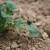 Suzbijanjekrompirove zlatice obavite u stadijumu larve