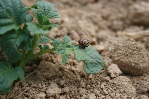 Suzbijanjekrumpirove zlatice obavite u stadiju ličinke