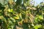 Zlatna žutica - neizlečiva bolest vinove loze
