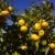 Neretvansko zlato: Berba krenula, urod manji, a cijena mandarine - obećavajuća!