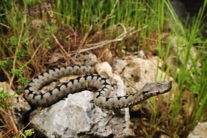 Zmijolovci bez problema mogu zaraditi 50 KM po zmiji?