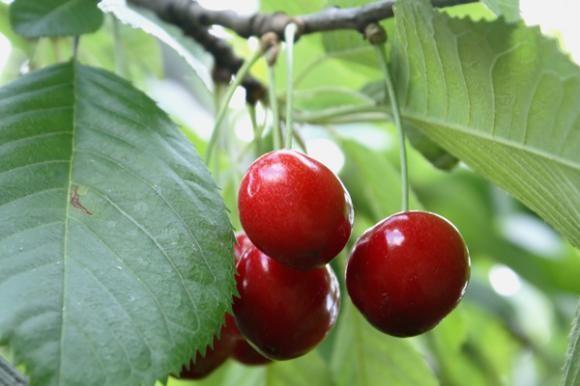 Sušenje grančica i trulež plodova (Monilija)