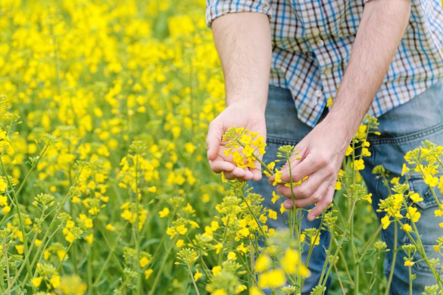 Proizvođači uljane repice, jeste li čuli za fungicid Magnello?