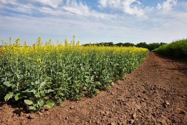 Kako suzbiti korove u Clearfield uljanoj repici?
