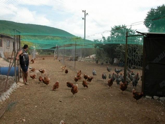 Smanjeni poticaji uzgoju kokoši hrvatica
