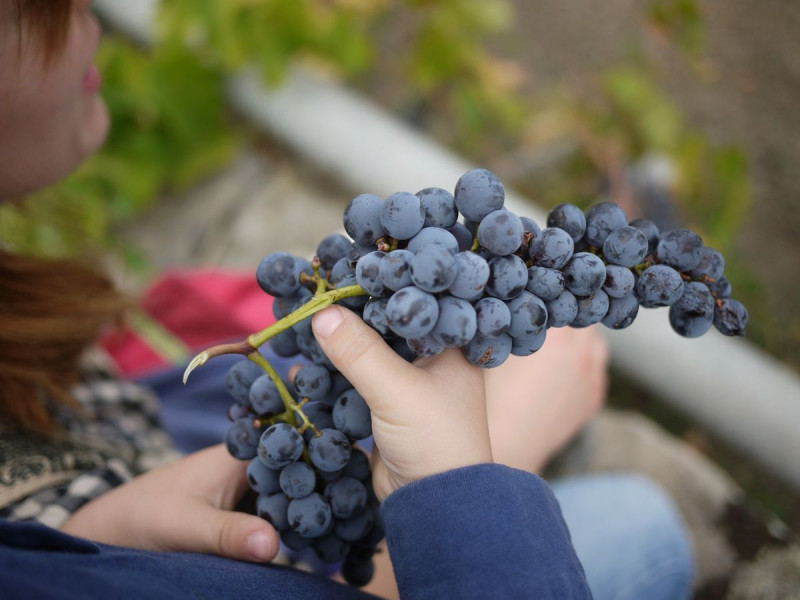 Broj vinara raste, no smanjuje se broj zaposlenih