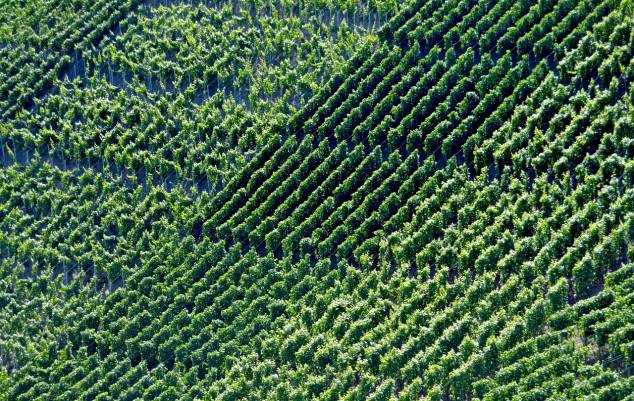 Pelješki vinogradari ostali bez 27 milijuna kuna