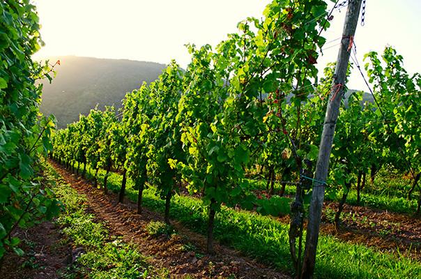 Veoma dobro stanje vinograda