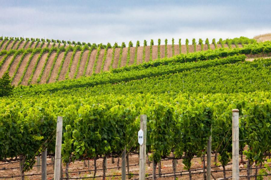 Pravilna zaštita vinove loze od američkog cvrčka