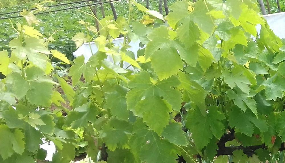 Preživio tek jedan vinograd, štete će biti vidljive godinama