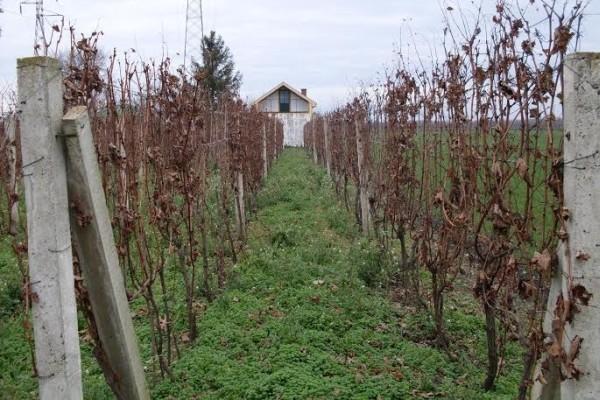 Nakon rodne godine, pripreme vinograda za sledeću