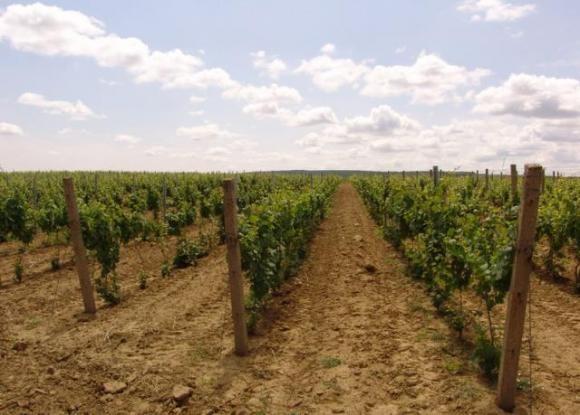 Domaće organsko vino samo u Grockoj