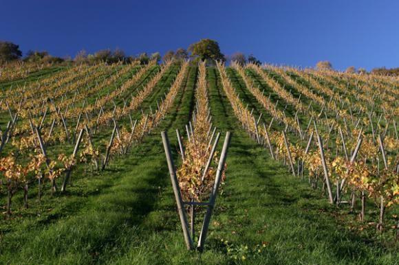 Zimsko đubrenje vinograda