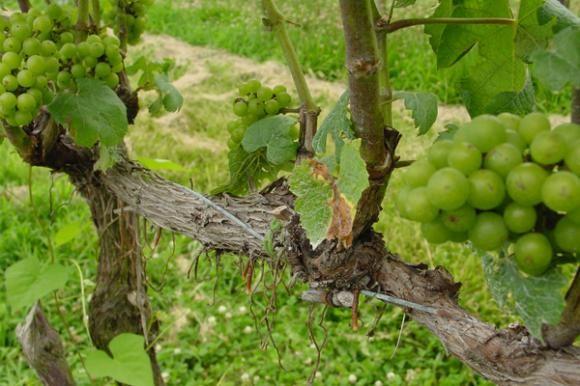 Tečaj cijepljenja i okuliranja voćaka i vinove loze