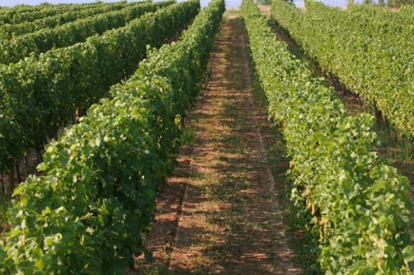 Nativo, Folicur, Falcon - suzbijanje pepelnice u vinogradu