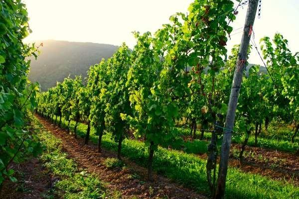 Резултат слика за vinogradarstvo