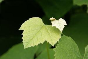 Štetočinje koje prezimljuju na vinovoj lozi Vinova-loza(9)