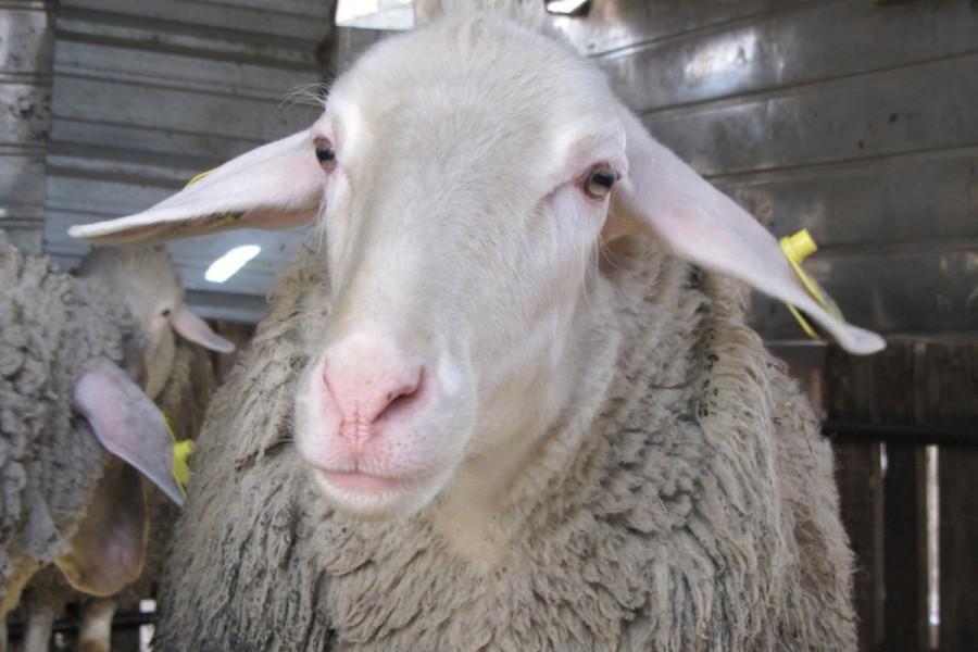 Ovce kao priplodni materijal