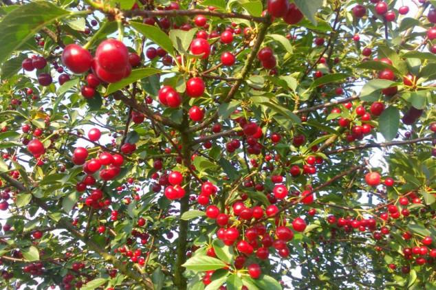 Vreme i način sađenja trešnje i višnje