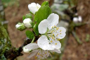 Jesenska gnojidba voćnjaka