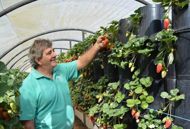 Izgradio reciklirani sustav za uzgoj jagoda
