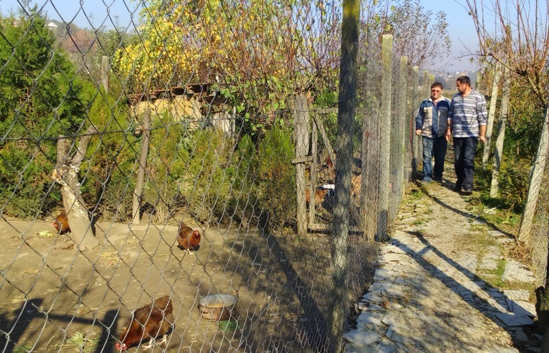 Dnevni pilići kokoši hrvatice već su rasprodani!