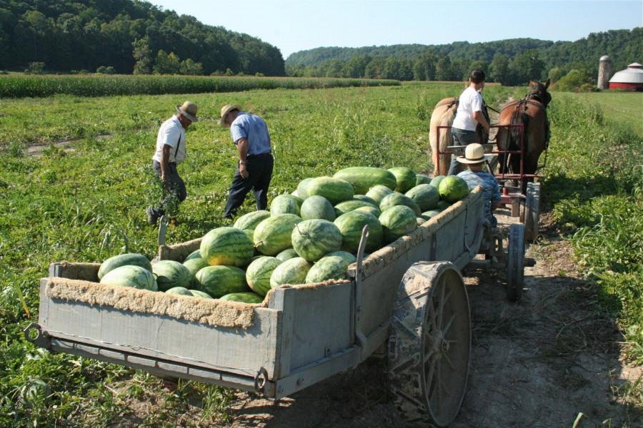 Na pet jutara proizveo 130 tona ekoloških lubenica