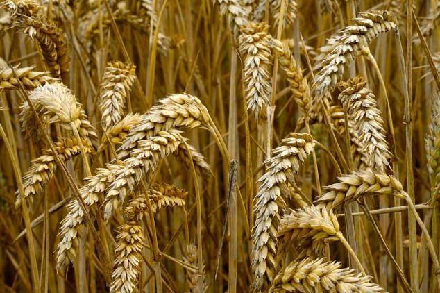 Rekordna proizvodnja žitarica u Rusiji