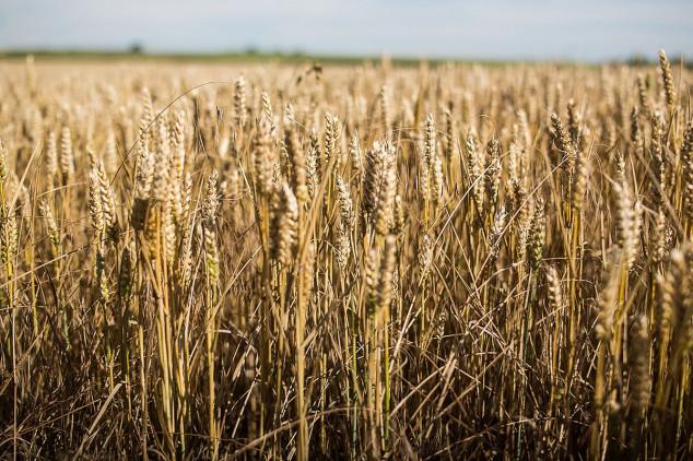 Rusija pojačava izvoz pšenice u Indiju