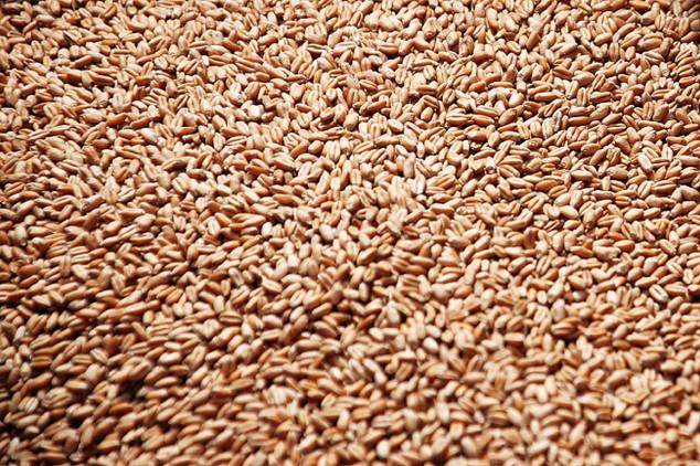 Besplatno seme pšenice srbobranskim ratarima