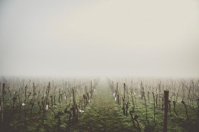 Zima oštetila severnobačke vinograde