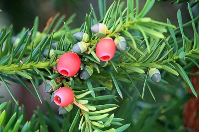Tisa - tisućljetni grm koji ubija i liječi