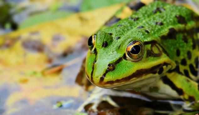 Žabe u kontroli štetnika voća i povrća