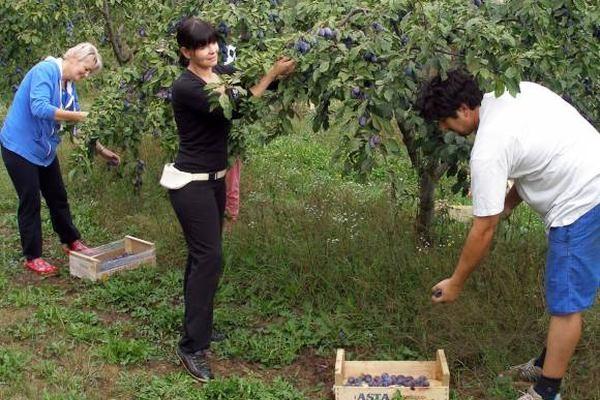 Podižu se novi zasadi šljive otporne na šarku