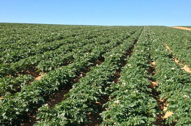 Suzbijanje dviju najznačajnijih bolesti krumpira