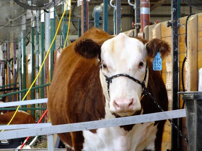Zasušivanje vimena mliječnih krava